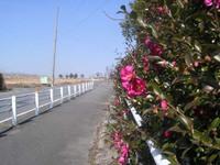 Camellia_sasanque