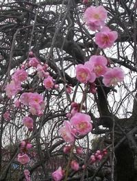 Prunus_mume_pink