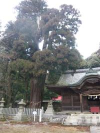 Cedar_tree