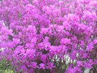Rhododendron_dilatatum