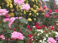 Rose_garden2
