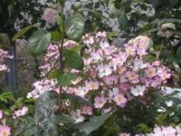 Rose_garden3