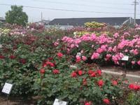 Rose_garden4