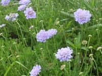 Pincushion_flower