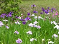 Japanese_iris2