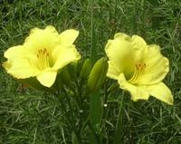 Hemerocallis_hybrida