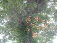 Campsios_grandiflora