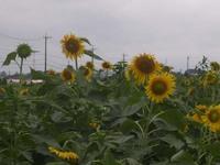 Sun_flower