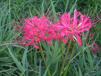 Lycoris_radiata1