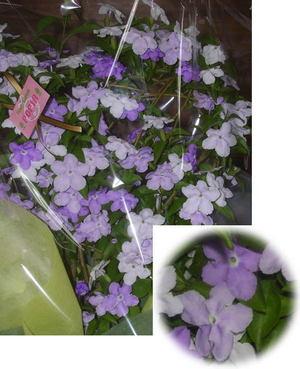 Brunfelsia_australis3