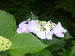 Hydrangea_macrophylla2