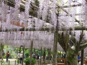 Japanese_wisteria1