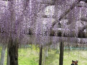 Japanese_wisteria2