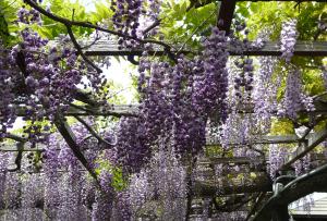 Japanese_wisteria4