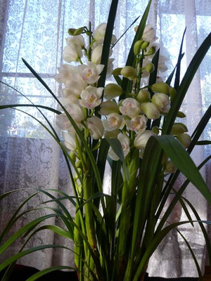 Cymbidium_angel