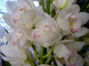 Cymbidium_angel2