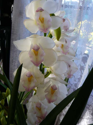 Cymbidium_angel3