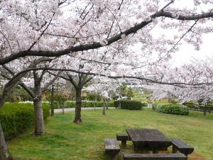 Sakura5