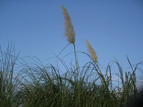 Pampas_grass_5