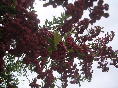 Yracantha_angustifolia2