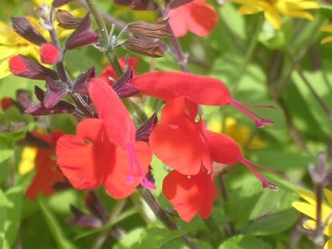 Salvia_greggii