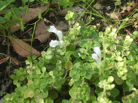 Scutellaria_indica