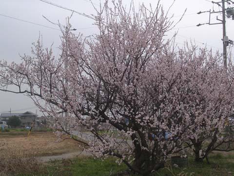 Prunus_mume