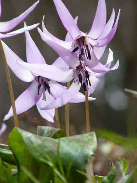 Erythronium_japonicum