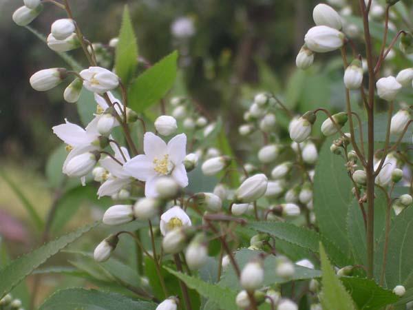 Deutzia_gracilis