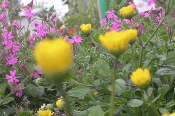 Silene_pendulachrysanthemum_multi_2