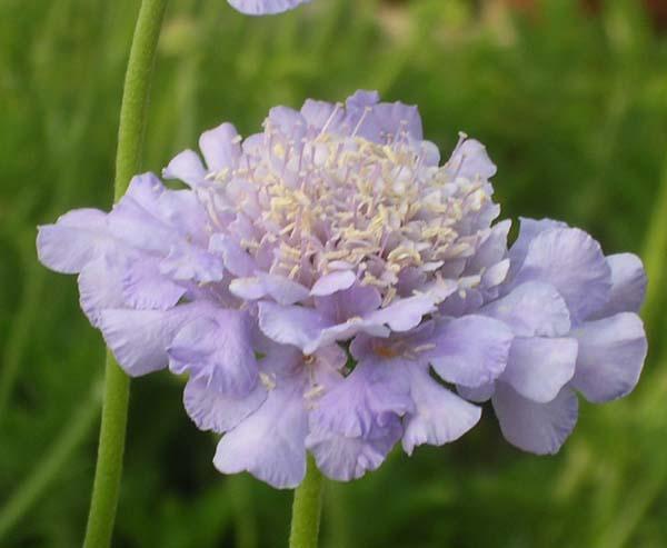 Pincushion_flowerw