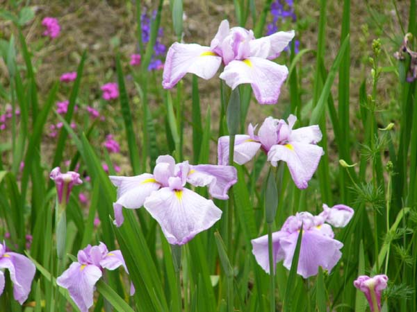 Japanese_iris
