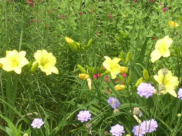 Wildflower_garden