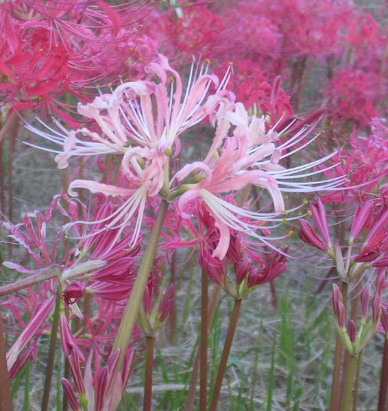 Lycoris_radiata_white