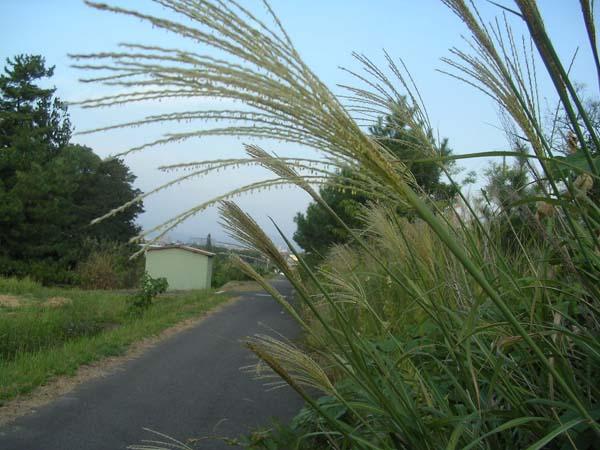 Japanese_plume_grass